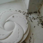 argentine_ants_accessing_trap