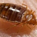 bed_bug_cimex_lectularius